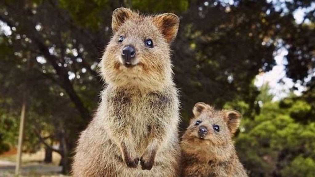 Mother quokka and her baby