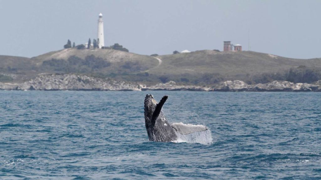 whale watching at Rottnest