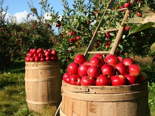 Apples in barrel