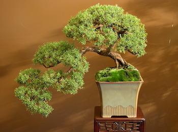 WA Bonsai Association President tells how to grow a WA native Bonsai
