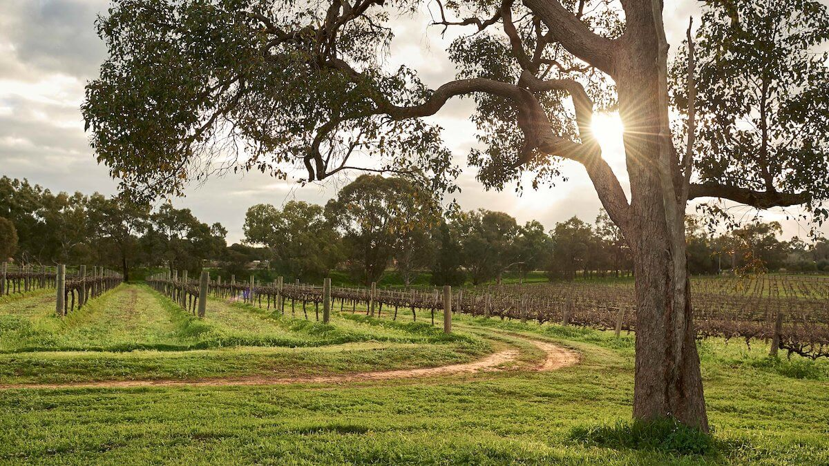 A vineyard at sunset, a dirt track runs into the middle, with a large gumtree in the foreground, with a mass of trees in the background and the sun visible in the sky