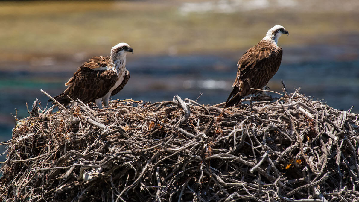 osprey and osprey nests
