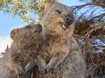 Join the Birthday Party for Baby Quokkas on Rottnest Island, with family-friendly festivities throughout September