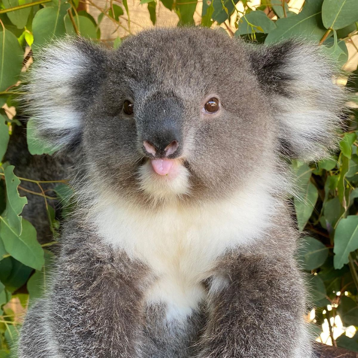 Koala with tongue poking out