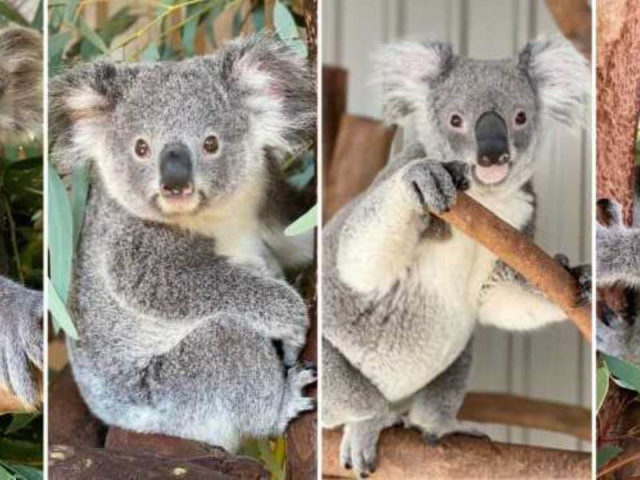 Where to see koalas in Perth for your next family day out